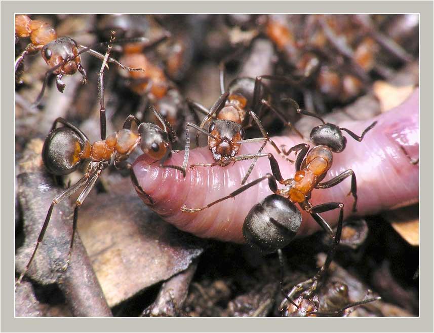 насекомое которые едят муравьев картинки нашей сертифицированной интернет