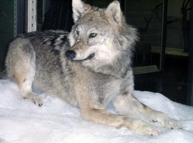 сегодняшний бритый волк фото связала
