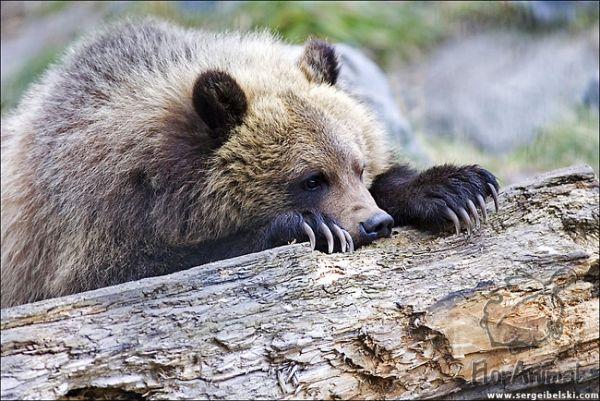 baby grizzly bear - Раздел животные - Фотография на фотосайте.