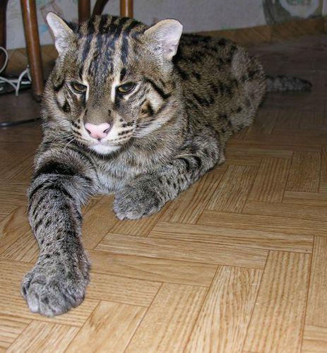 Азиатская кошка felis viverrina фото 0