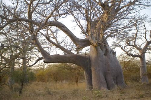 Баобабы - огромные деревья. фото 3