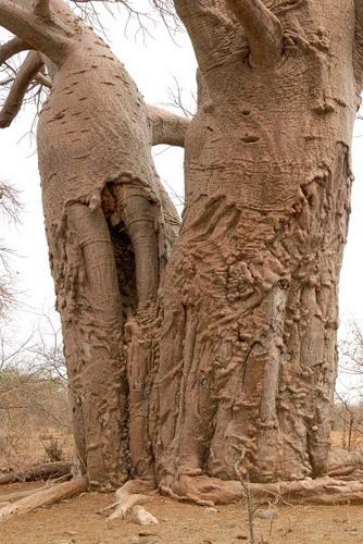 Баобабы - огромные деревья. фото 6