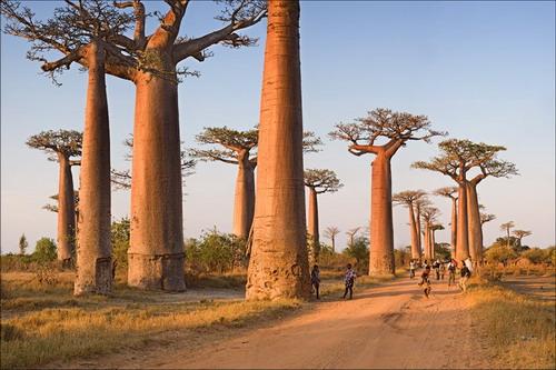 Баобабы - огромные деревья. фото 8