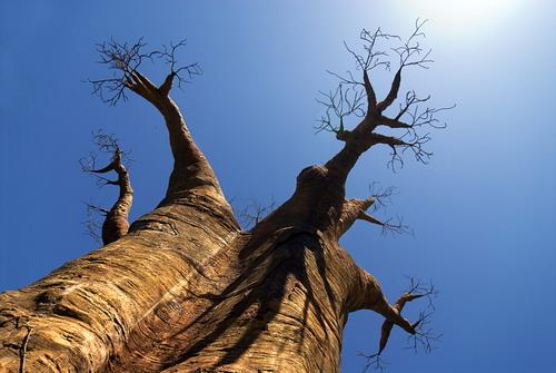 Баобабы - огромные деревья. фото 13