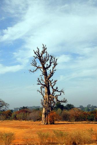 Баобабы - огромные деревья. фото 14
