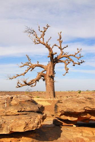 Баобабы - огромные деревья. фото 15