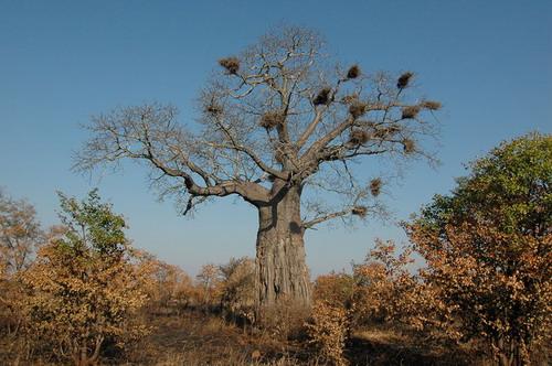 Баобабы - огромные деревья. фото 16
