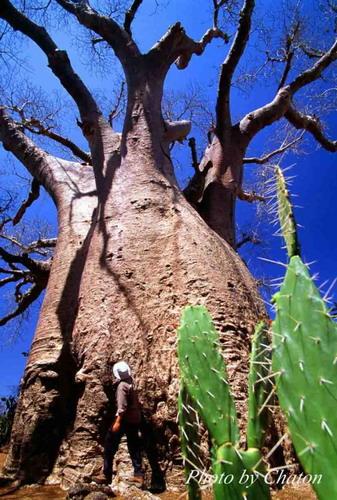 Баобабы - огромные деревья. фото 19