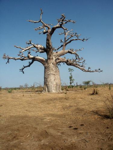 Баобабы - огромные деревья. фото 20