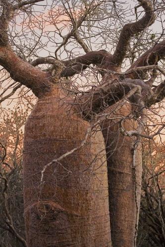 Баобабы - огромные деревья. фото 22