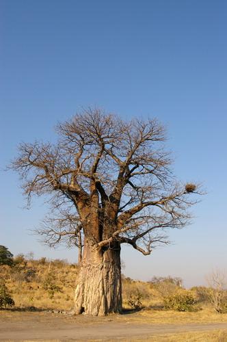 Баобабы - огромные деревья. фото 23