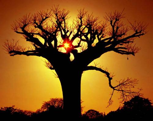 Баобабы - огромные деревья. фото 27