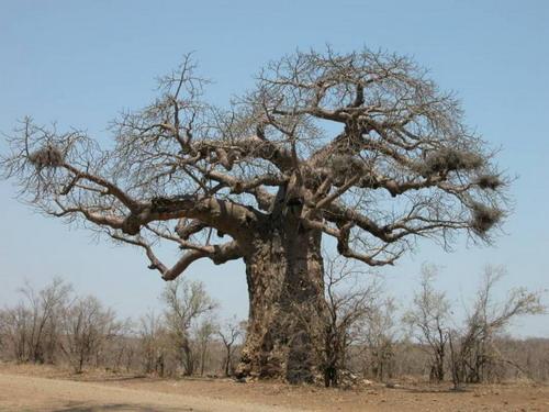 Баобабы - огромные деревья. фото 31