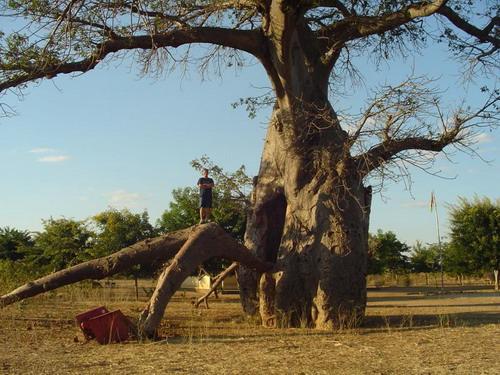Баобабы - огромные деревья. фото 32