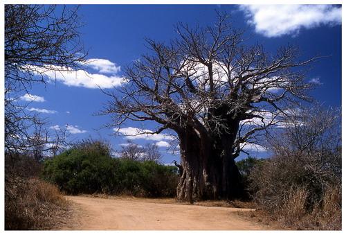 Баобабы - огромные деревья. фото 36