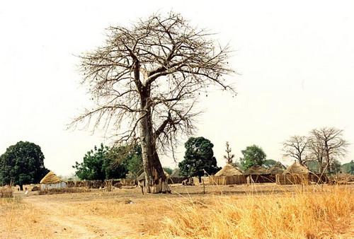 Баобабы - огромные деревья. фото 37