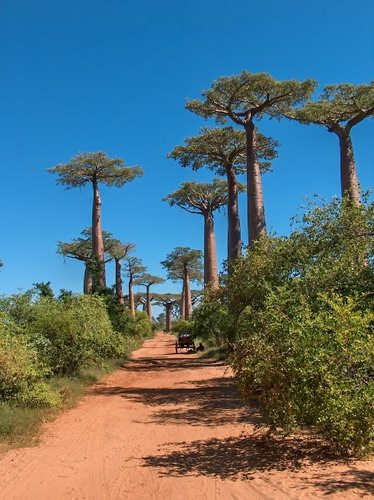 Баобабы - огромные деревья. фото 41