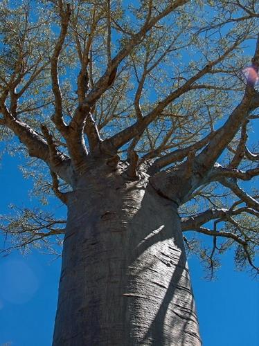 Баобабы - огромные деревья. фото 44