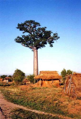 Баобабы - огромные деревья. фото 51
