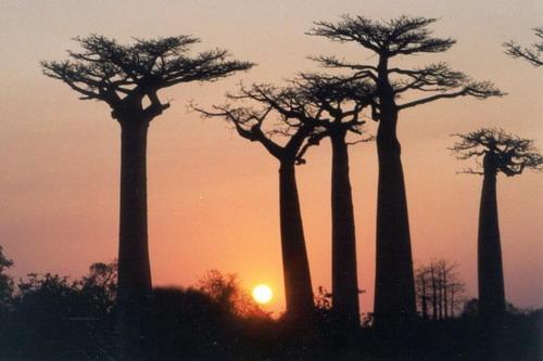 Баобабы - огромные деревья. фото 53