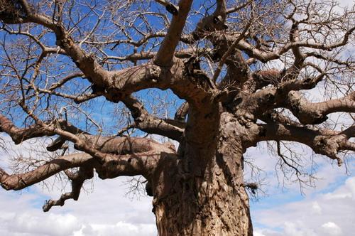 Баобабы - огромные деревья. фото 55