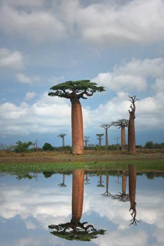 Баобабы - огромные деревья. фото 0