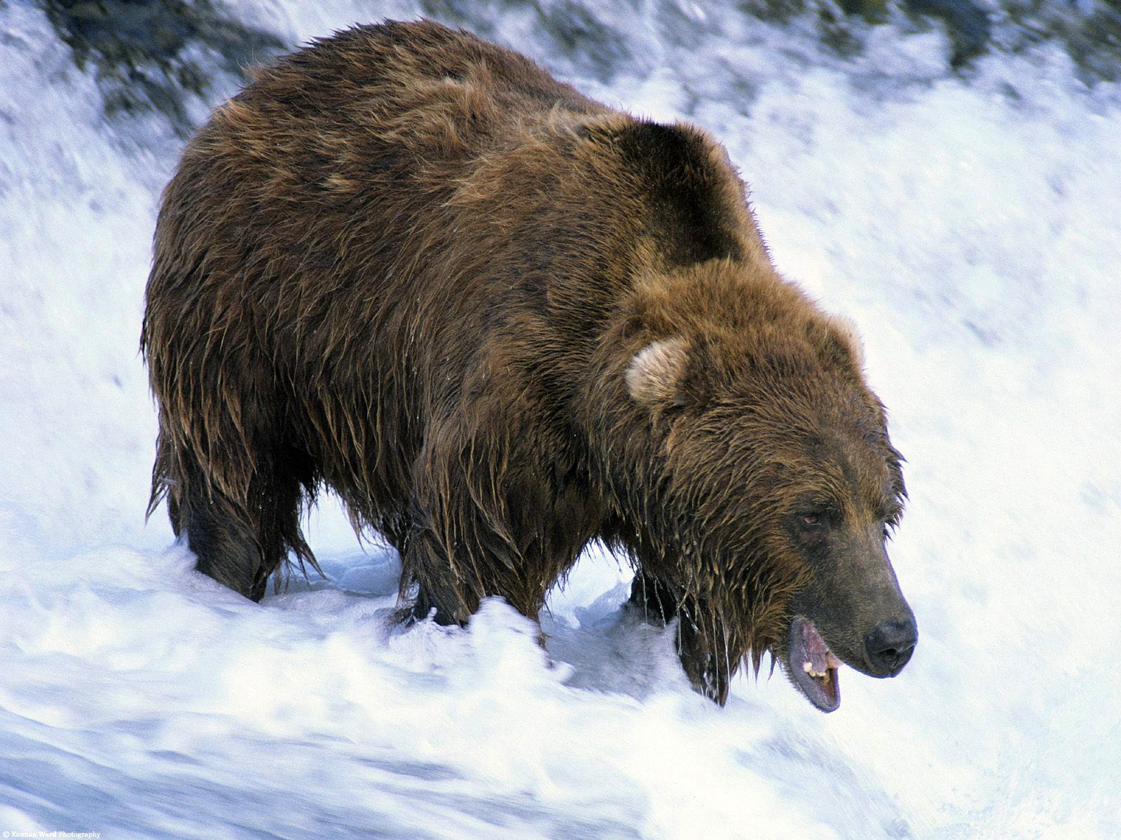 это вымершие медведи фото по-прежнему живет своей