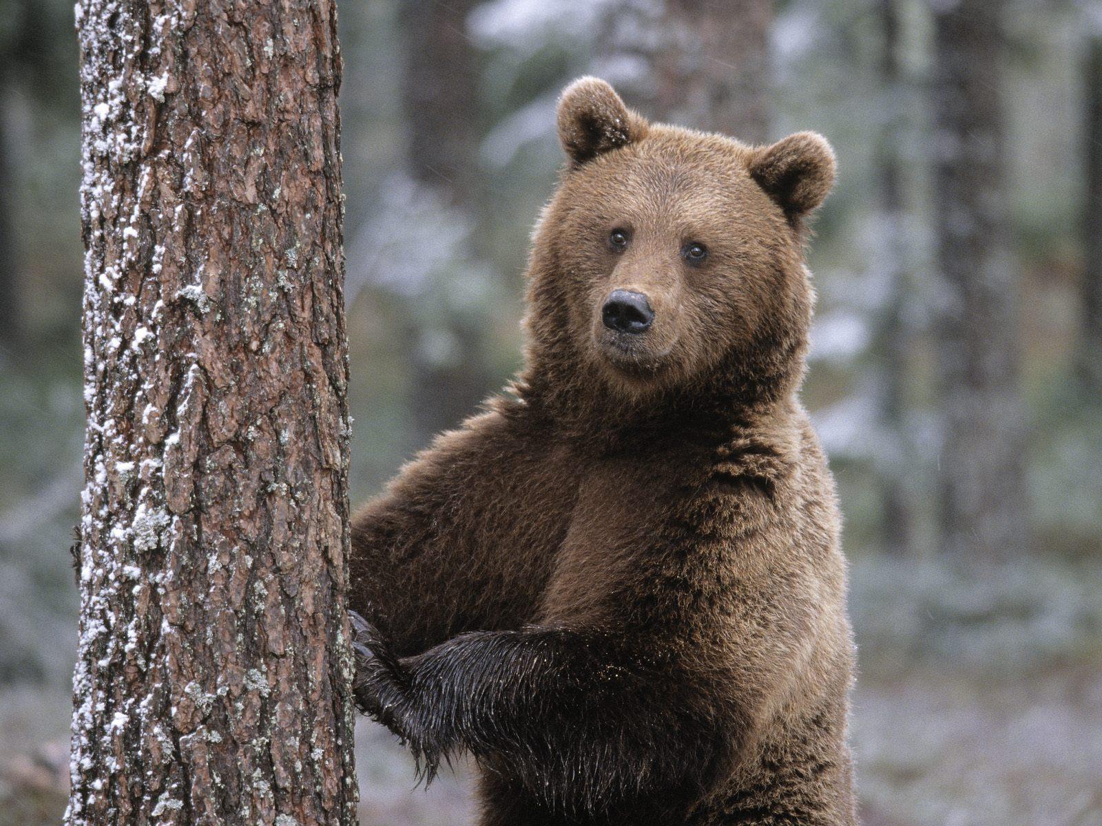 Картинки медведей картинки, поздравительных открыток