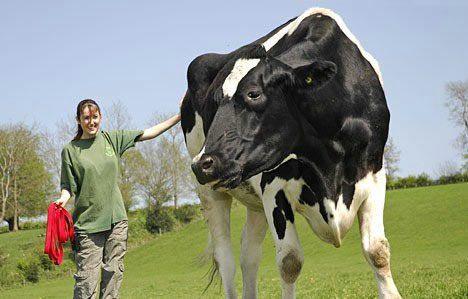 Самые большие быки видео видео :: WikiBit.me