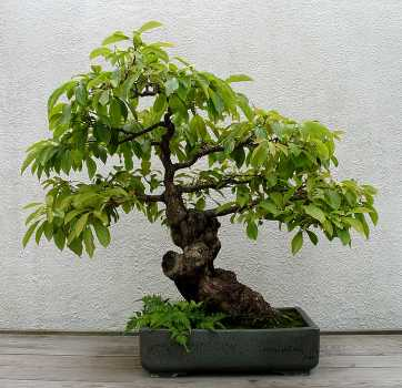 YouTube - бонсай.  BONSAI BLOG.