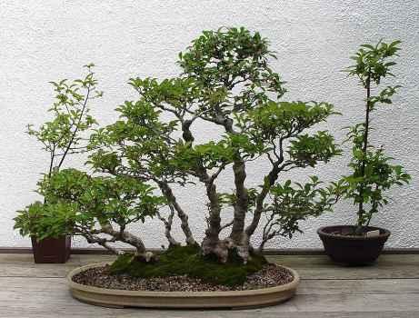 """В японском языке слово  """"бонсаи """" означает не просто карликовое растение, а культуру его выведения на подносе или в..."""