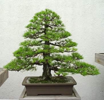 Природа :: Бонсаи и penjing фото 99.