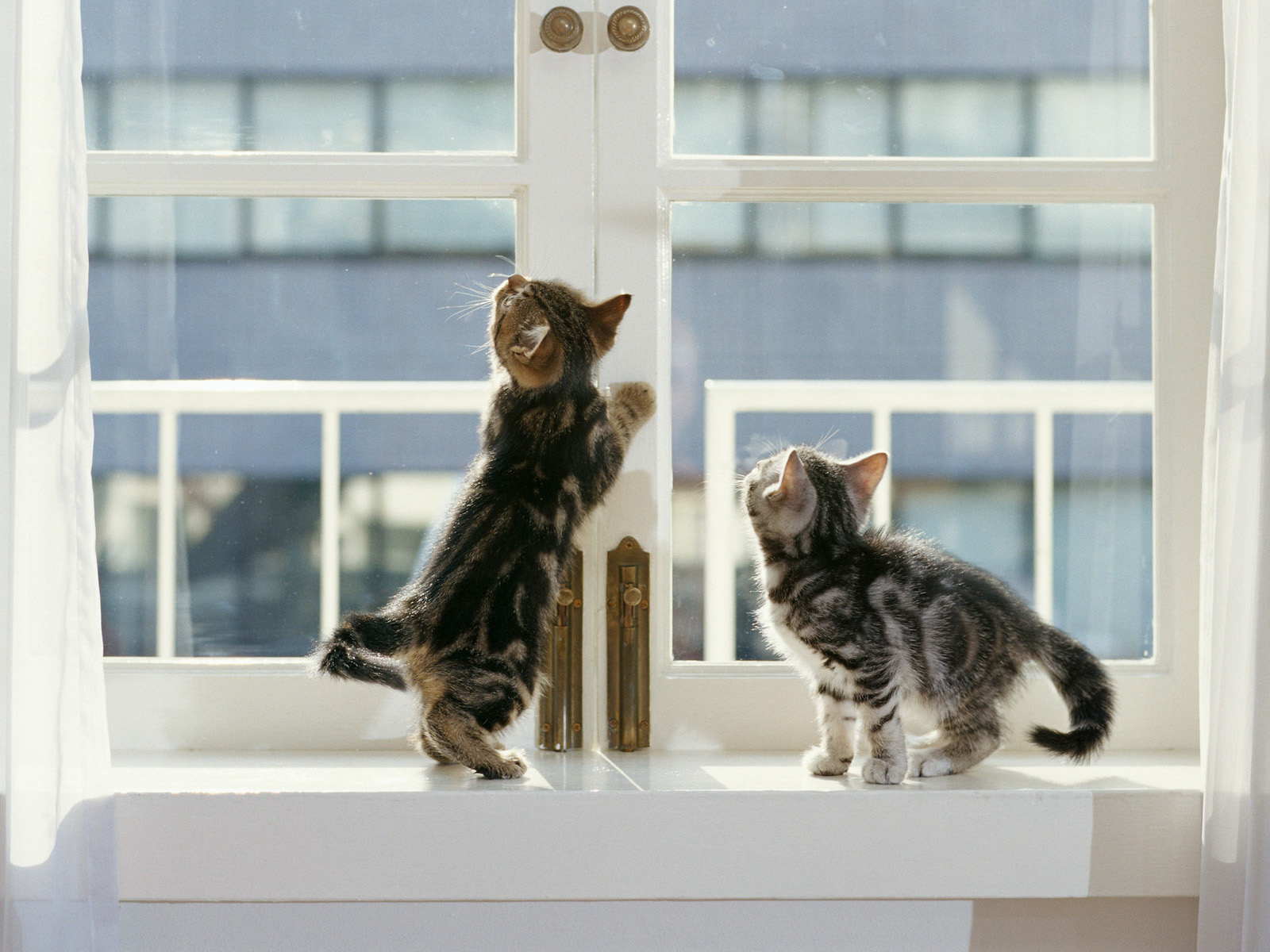 котята на окне kittens on the window  № 3063254 бесплатно
