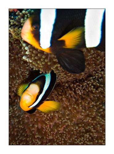 Рыбы-клоуны фото 8.