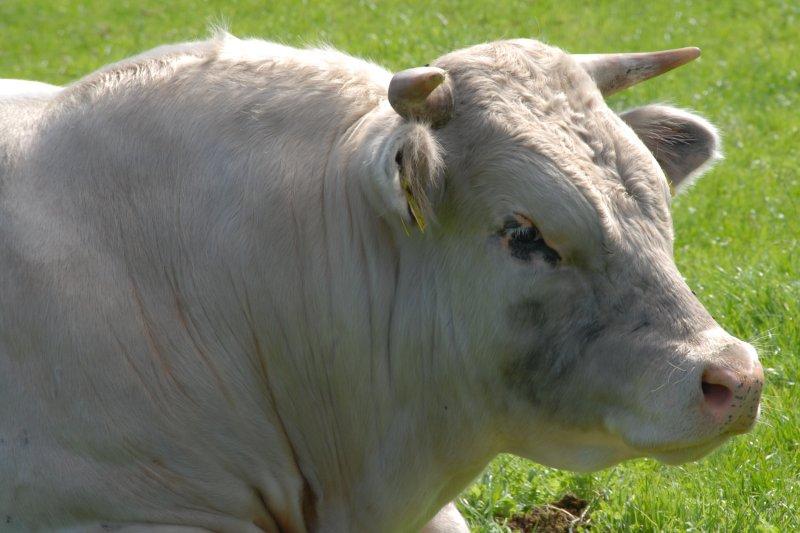 фото быка белого для