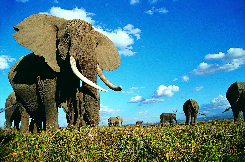 Слон  № 1010788 без смс