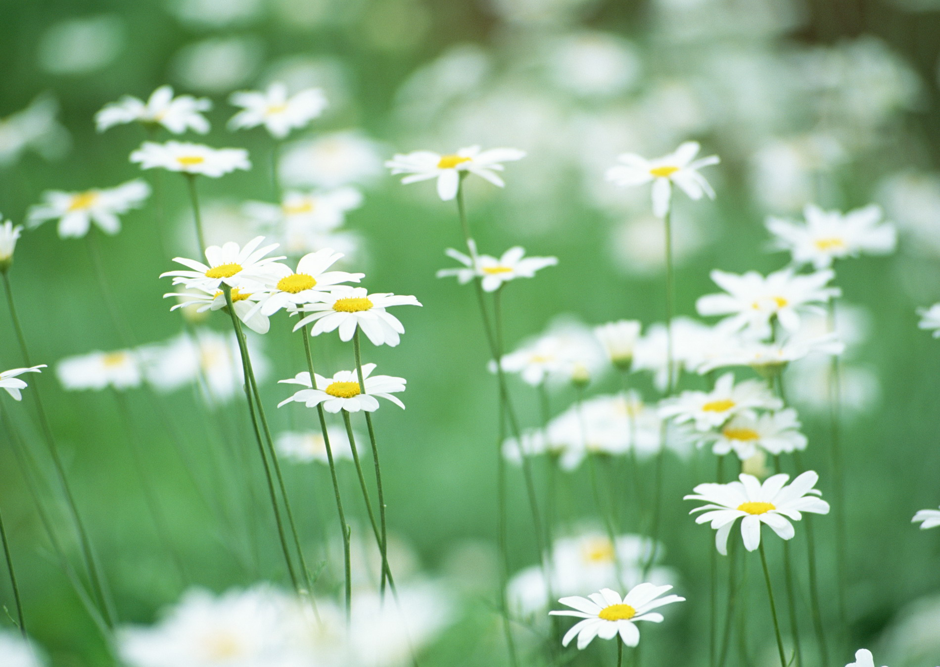 Ru обои на рабочий стол полевые цветы