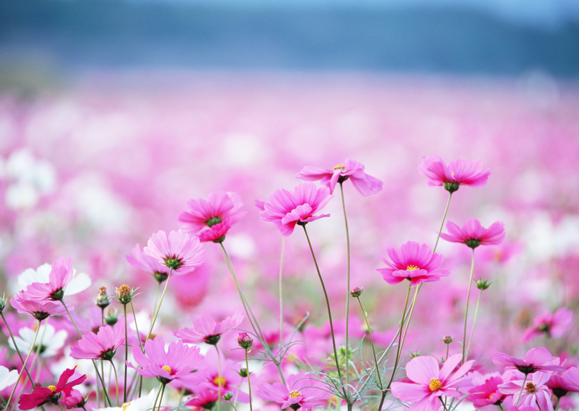 http://basik.ru/images/field_with_flowers/short_field_with_flowers.jpg