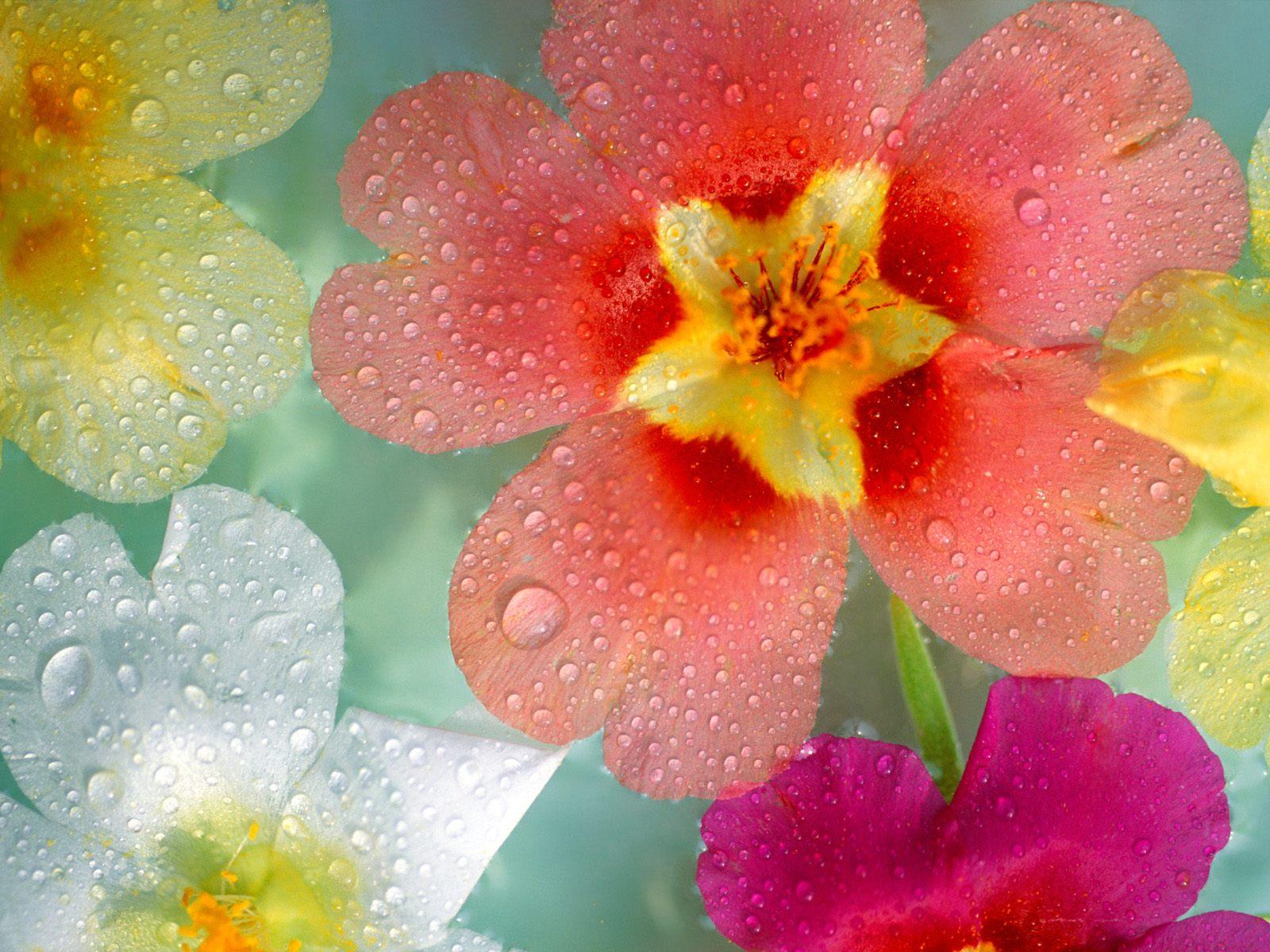 Обои на рабочий стол цветы на 8 марта