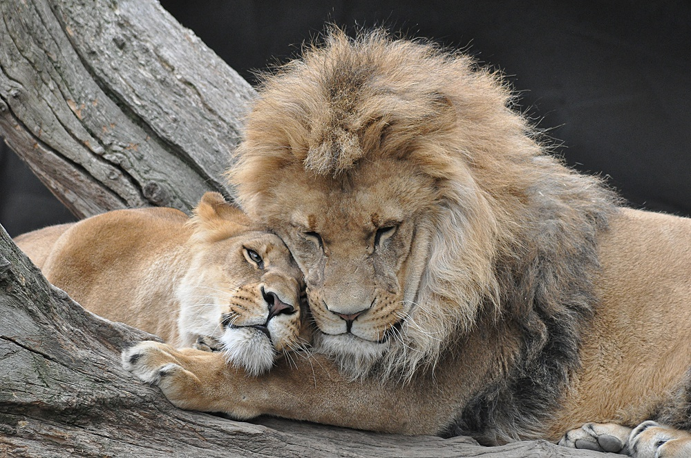 Львы романтика картинки