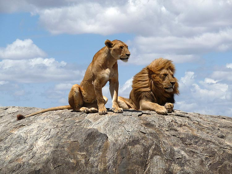 львы и афоризмы фото нестандартные интерьерные