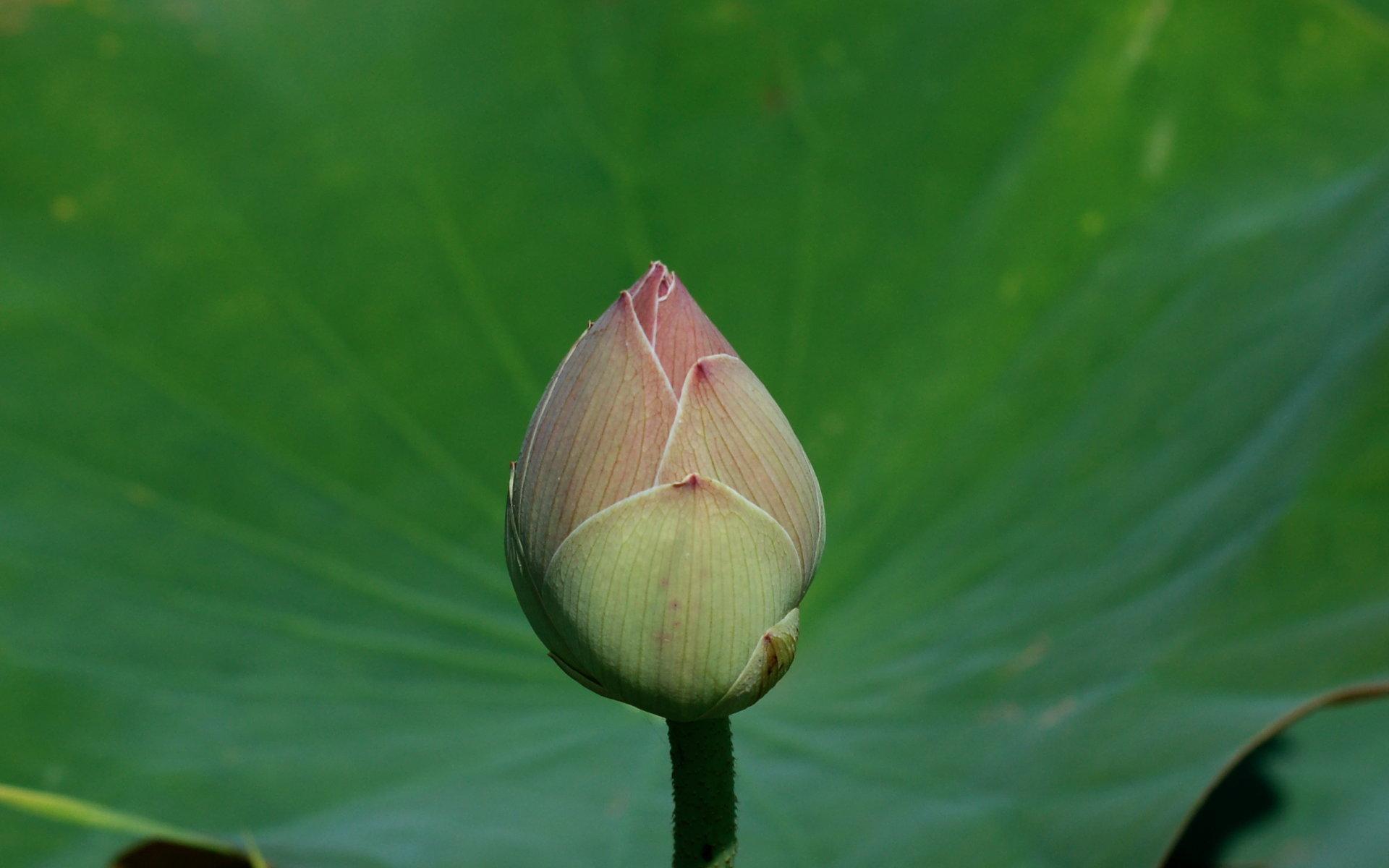 Ru обои на рабочий стол цветок лотоса
