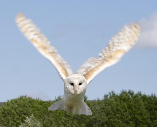 """Открыть фото  """"Белая сова (полярная сова) """" в полном размере."""