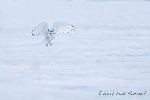 Белая сова (Nyctea scandiaca) .