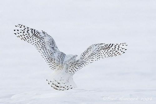 Белая сова (Nyctea scandiaca), птица семейства настоящих сов, характерна для Арктики.  Распространена в зоне тундр...