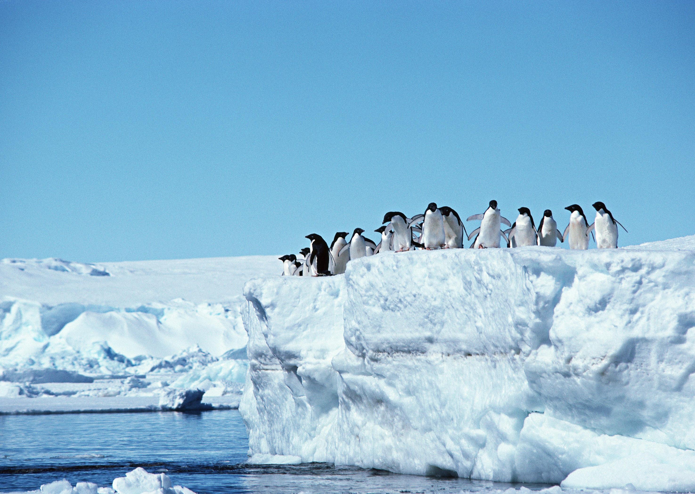 пингвины на глыбе льда  № 91228 без смс