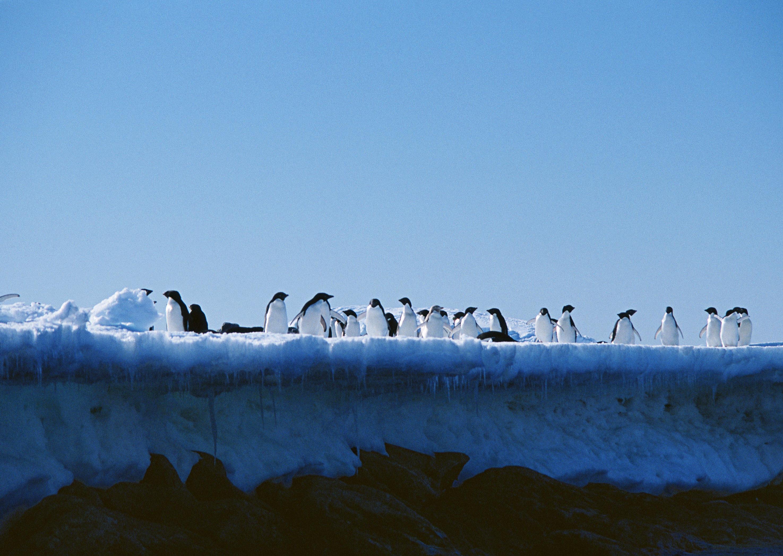 пингвины на глыбе льда  № 91204 без смс