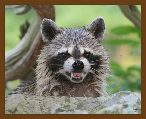 http://basik.ru/images/raccoons/23.jpg