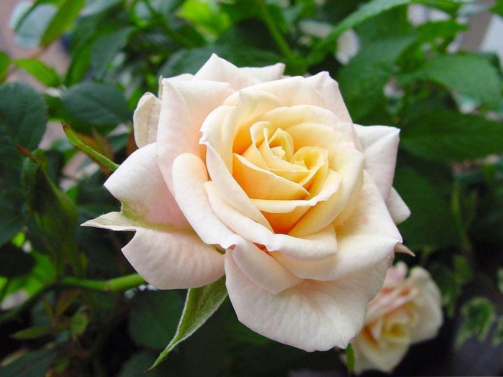 http://basik.ru/images/roses_19/28_roses.jpg