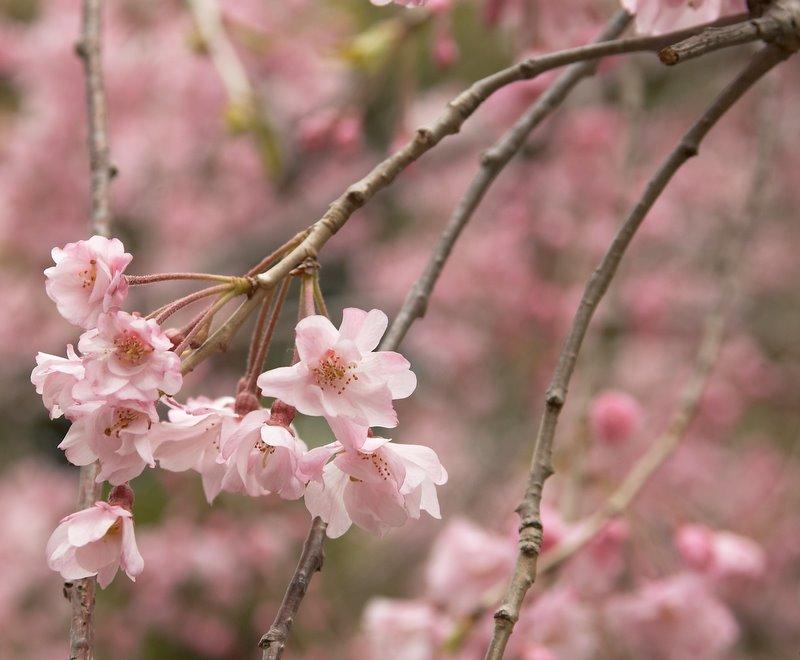 http://basik.ru/images/sakura/short_sakura.jpg